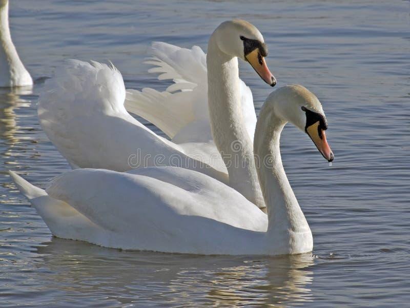 Cisnes imagenes de archivo