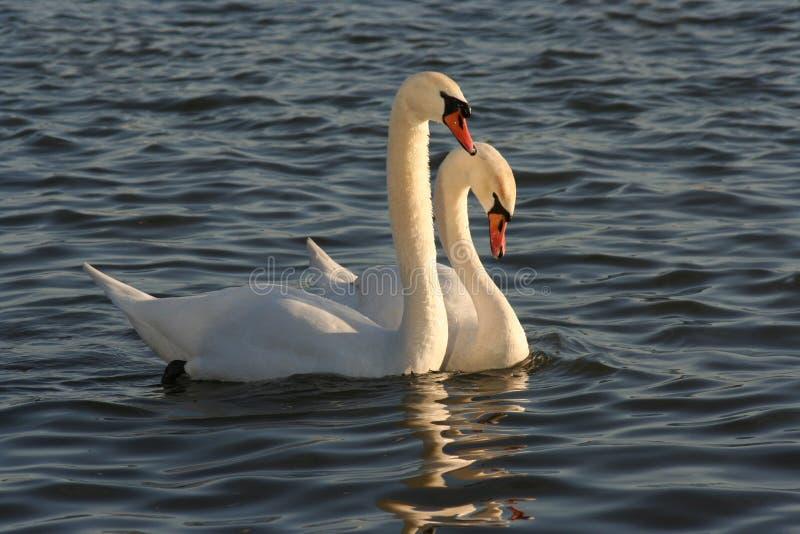 Cisnes fotos de stock