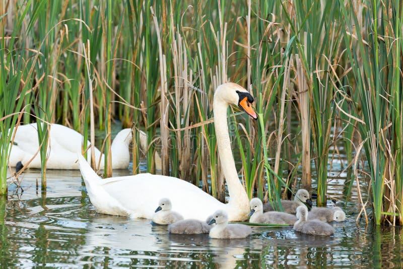 Cisnes blancos de los pares con los jóvenes foto de archivo libre de regalías