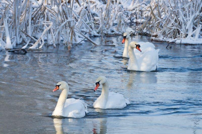 Cisnes blancos en el río fotos de archivo libres de regalías