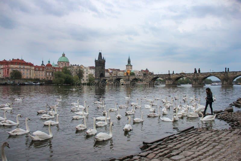 Cisnes blancos en el río Moldava al lado de Charles Bridge, Praga, República Checa Atracci?n del turismo fotografía de archivo