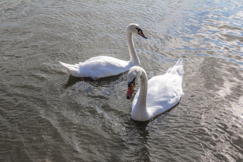 Cisnes blancos en la charca imagen de archivo