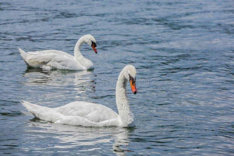 Cisnes blancos magníficos en un lago foto de archivo