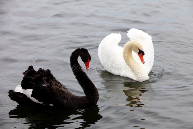 Cisnes blancos y negros fotos de archivo libres de regalías