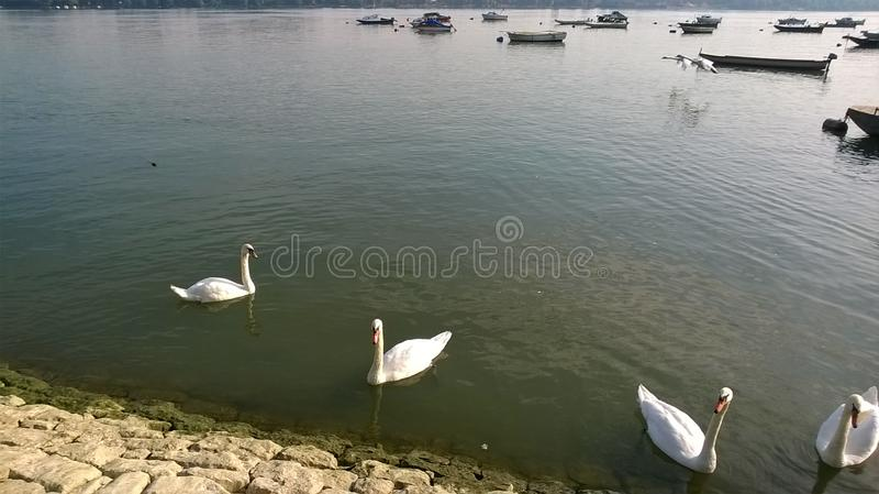 Cisnes brancas imagens de stock royalty free