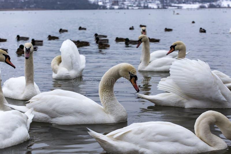 Cisnes brancas bonitas que flutuam na água imagens de stock