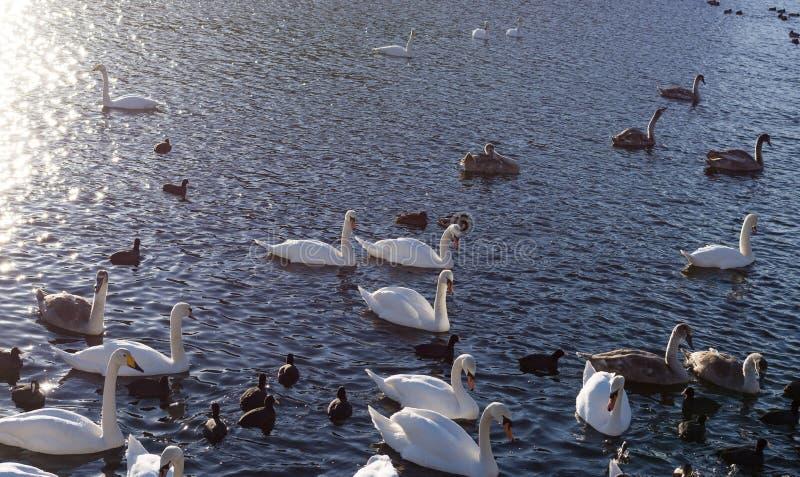 Cisnes brancas Cisne do por do sol do rio imagens de stock