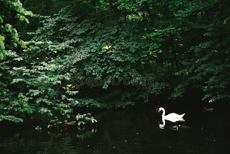 Cisnes brancas do palácio de Nymphenburg fotografia de stock