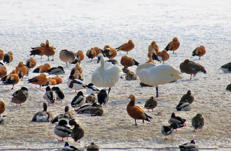 Cisnes brancas e muitos outros pássaros na neve imagens de stock