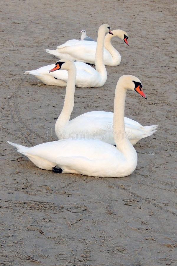 Cisnes brancas na praia no mar Báltico e em uma gaivota fotos de stock royalty free