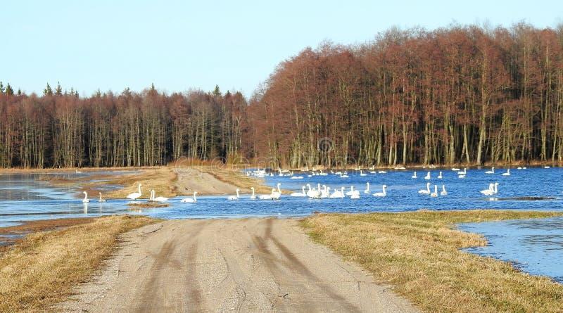 Cisnes brancas no campo de inundação, Lituânia fotos de stock royalty free