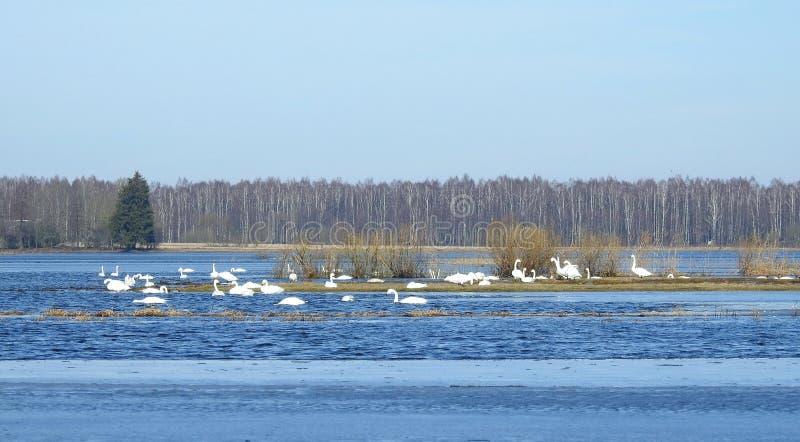 Cisnes brancas no campo de inundação, Lituânia imagem de stock
