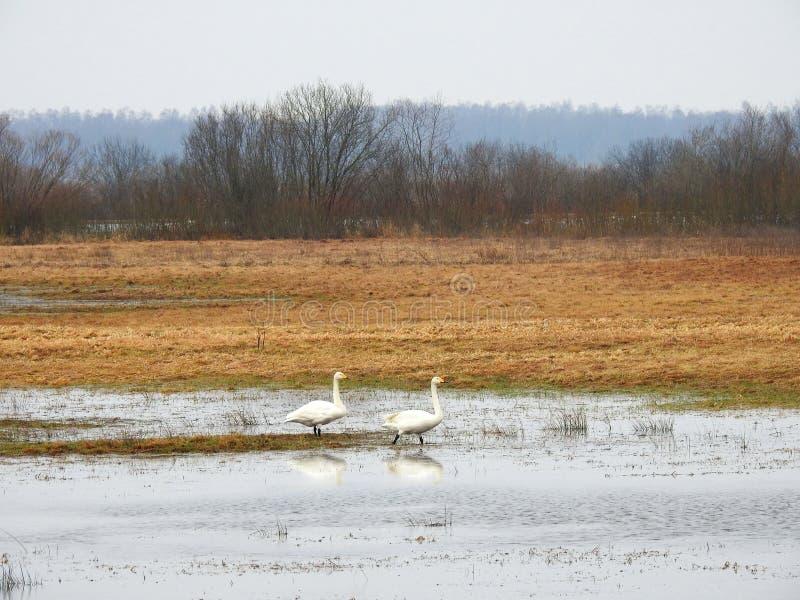 Cisnes brancas no campo de inundação, Lituânia imagem de stock royalty free