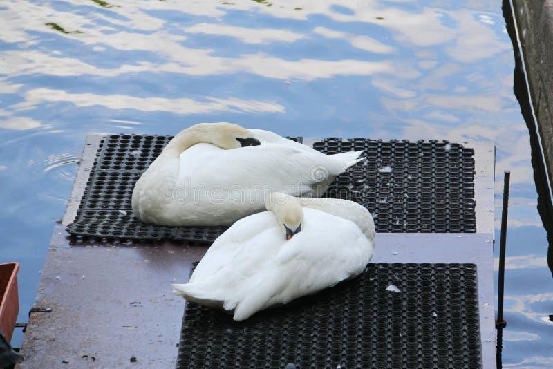 Cisnes brancas que dormem em um tapete escuro foto de stock