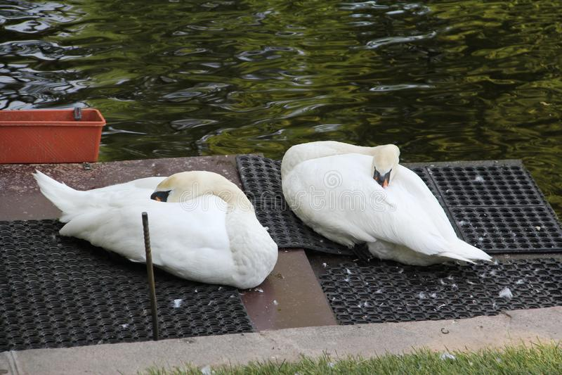 Cisnes brancas que dormem em um tapete escuro fotos de stock royalty free