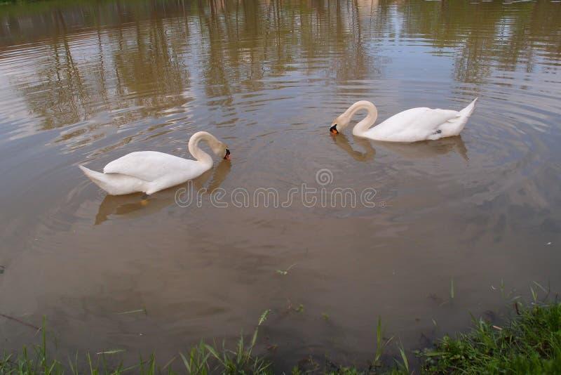 Cisnes brancas que nadam no lago fotos de stock