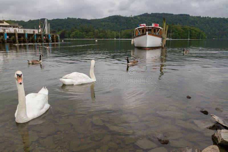 Cisnes, cais e barco da natação no lago sobre Bowness-em-Windermere, fotos de stock