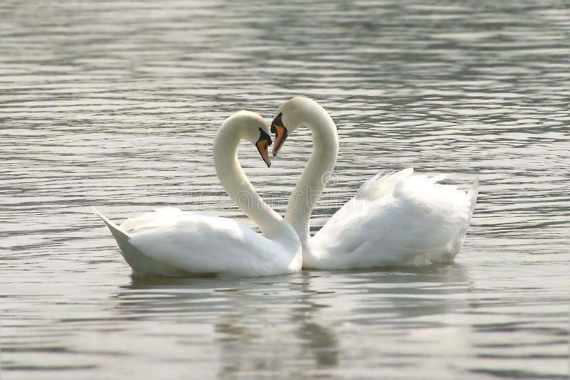 Cisnes cariñosos fotografía de archivo