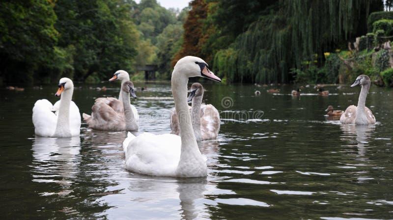 Cisnes com Cygnets imagens de stock royalty free