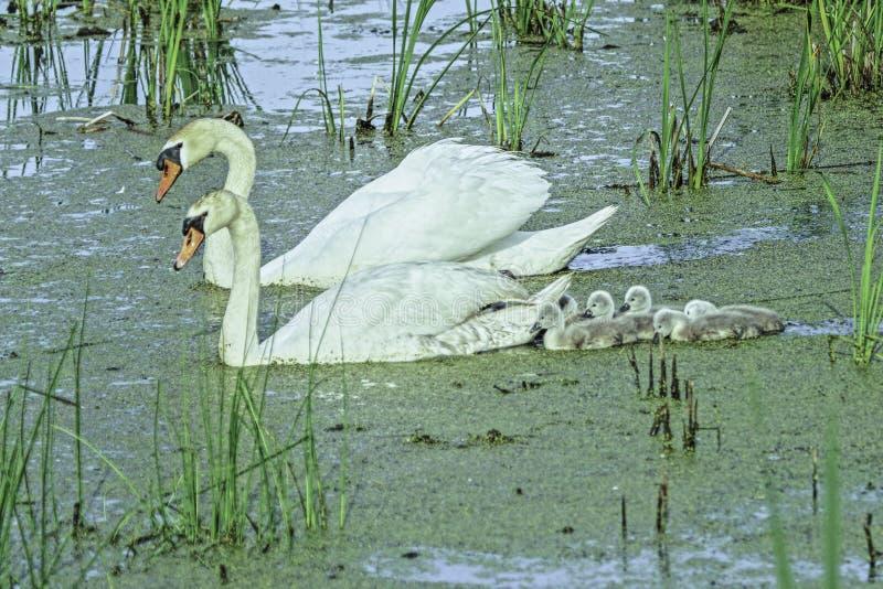 Cisnes com seus cisnes novos no p?ntano imagem de stock royalty free