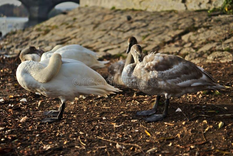 Cisnes con los jóvenes en el río fotografía de archivo