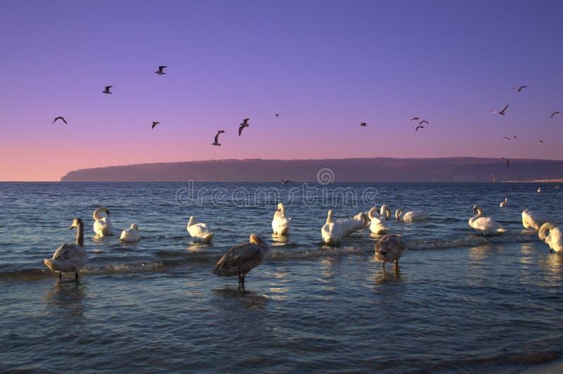 Cisnes crepusculares de la costa fotografía de archivo