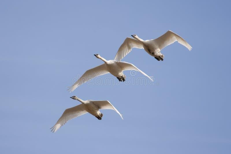 Cisnes da trompetista fotos de stock royalty free