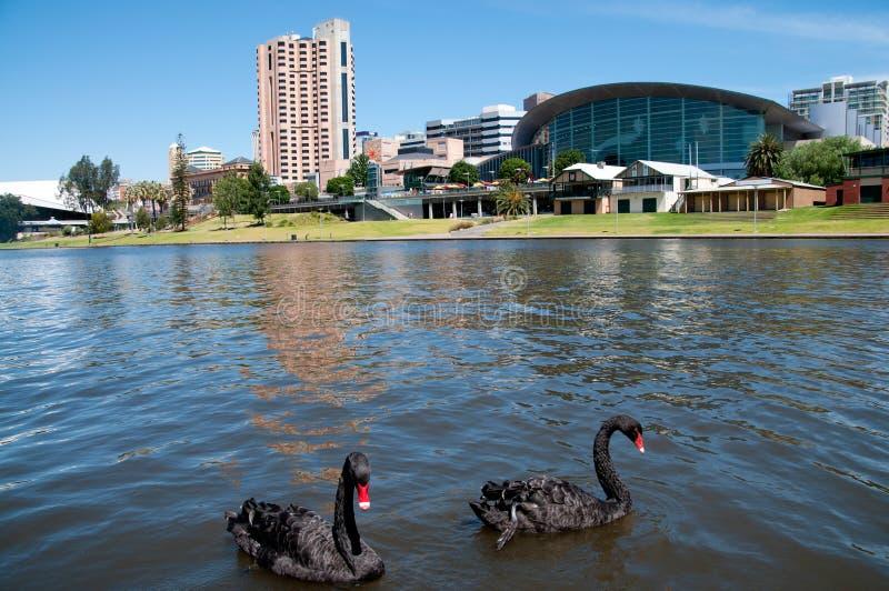 Cisnes de Adelaide imagem de stock royalty free