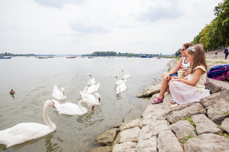 Cisnes de alimentación de la familia en el río imagenes de archivo
