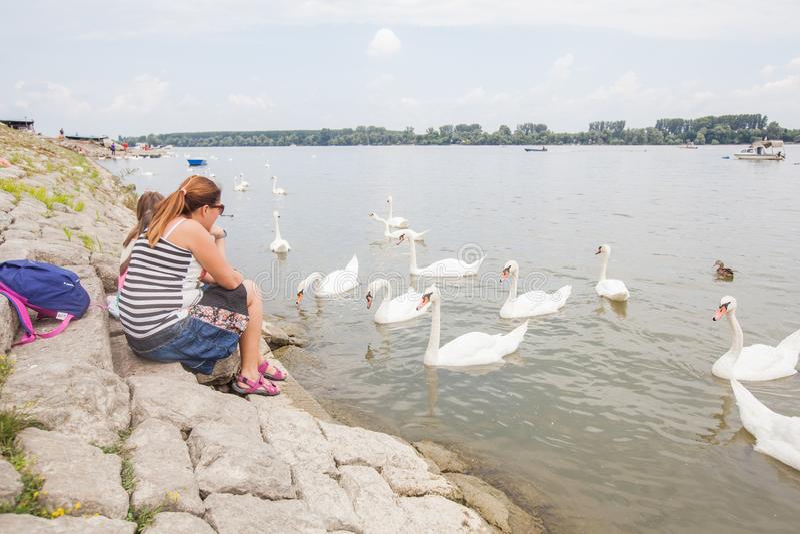 Cisnes de alimentación de la familia en el río imagen de archivo