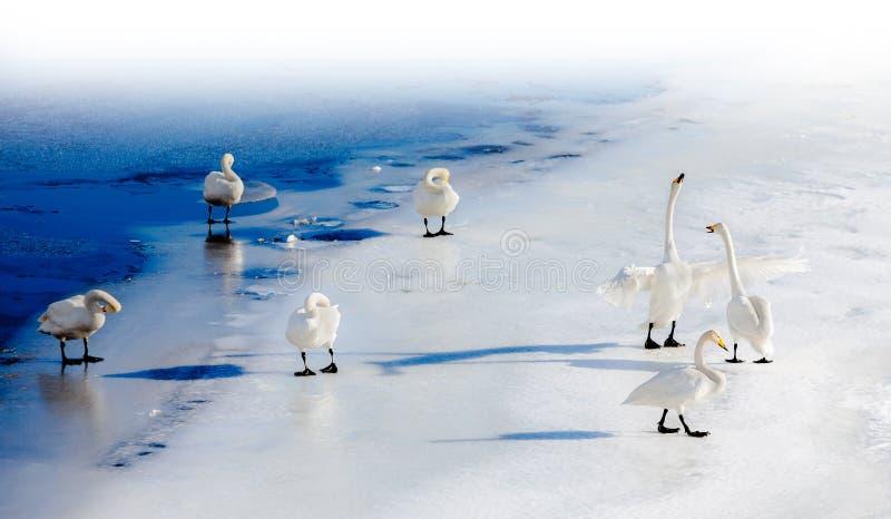 Cisnes de combate em um lago congelado imagem de stock