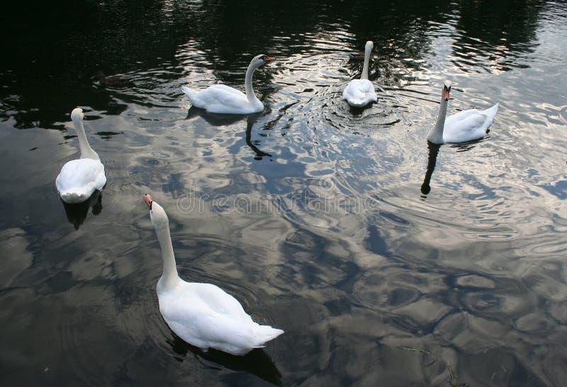 Cisnes de la danza imagen de archivo