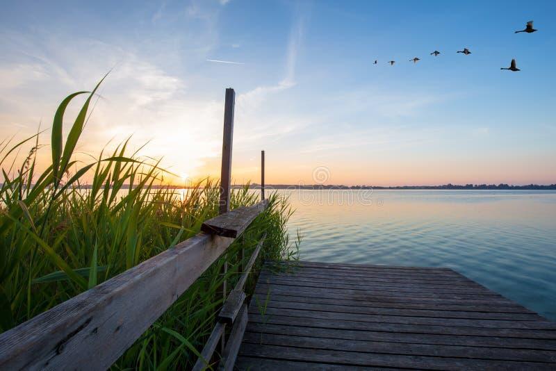 Cisnes de madera de la pasarela y del vuelo durante salida del sol en el lago Powidzkie en Polonia imagenes de archivo