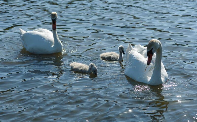 Cisnes de Shipunov de la familia con los polluelos en el lago fotos de archivo