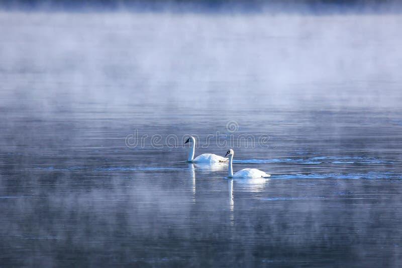 Cisnes de trompetista que nadam no rio em uma manhã nevoenta, amarela foto de stock royalty free