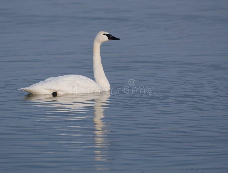 Cisnes de Trumpter e água azul fotos de stock