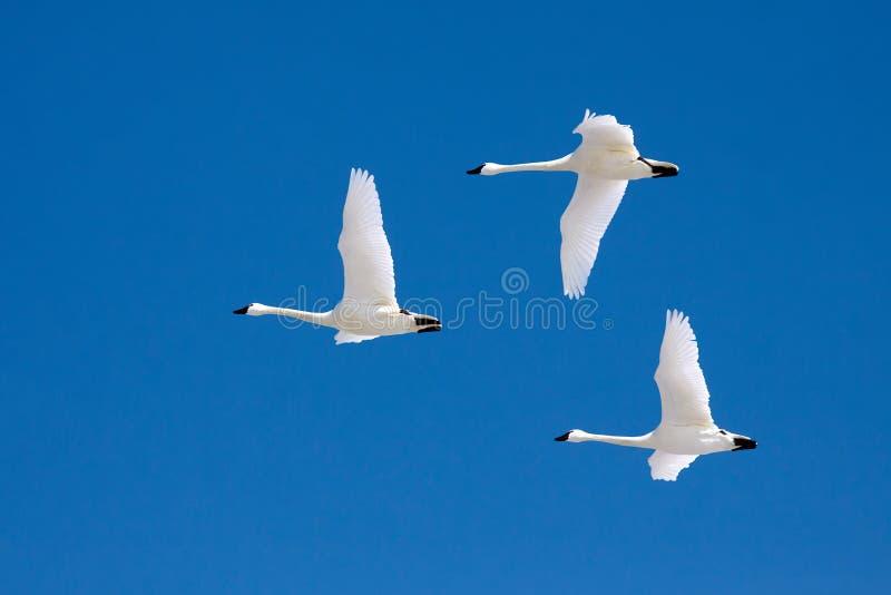 Cisnes de tundra en vuelo imágenes de archivo libres de regalías