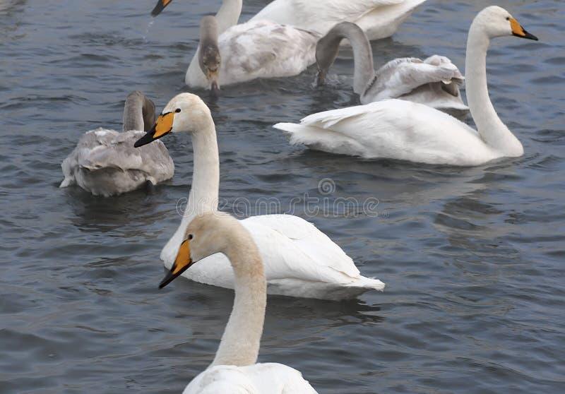 Cisnes de Whooper no inverno no lago 2 imagem de stock