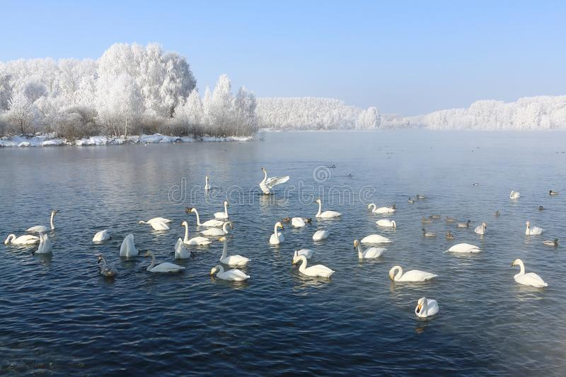 Cisnes de Whooper que nadan en el lago fotos de archivo