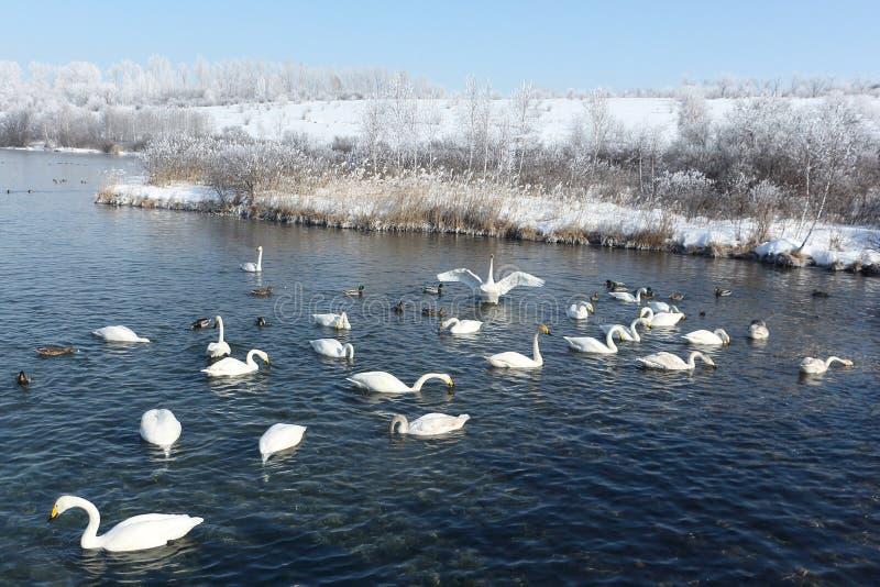 Cisnes de Whooper que nadan en el lago imagen de archivo libre de regalías