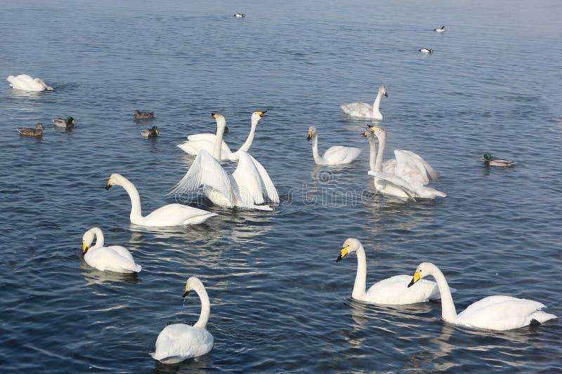 Cisnes de Whooper que nadan en el lago imagen de archivo