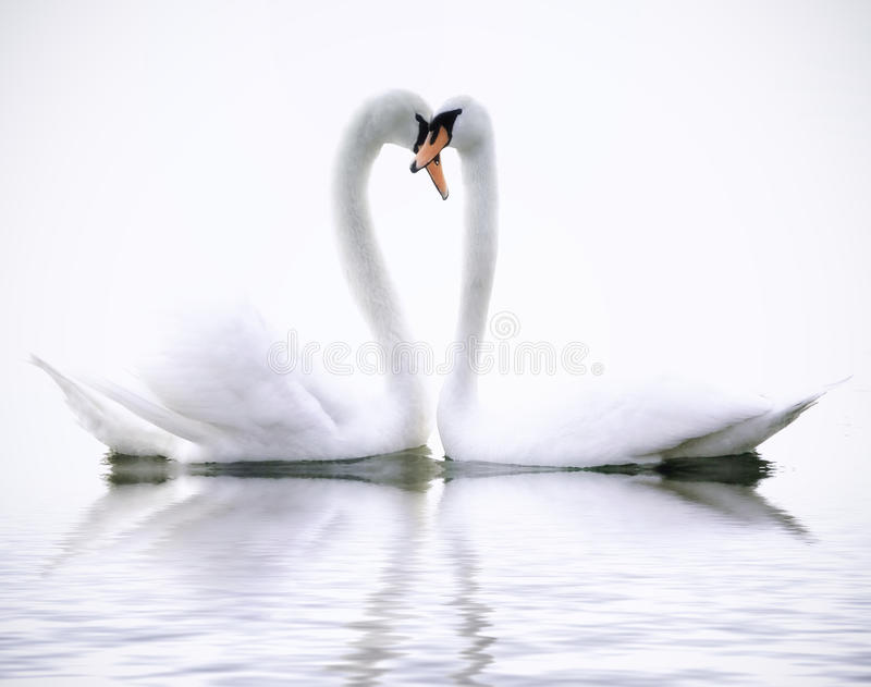 Cisnes del amor foto de archivo