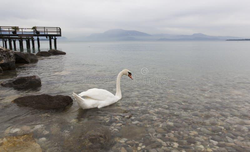 Cisnes do lago Garda em Itália imagens de stock royalty free