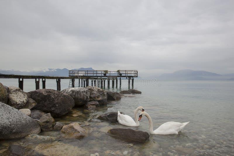Cisnes do lago Garda em Itália fotos de stock