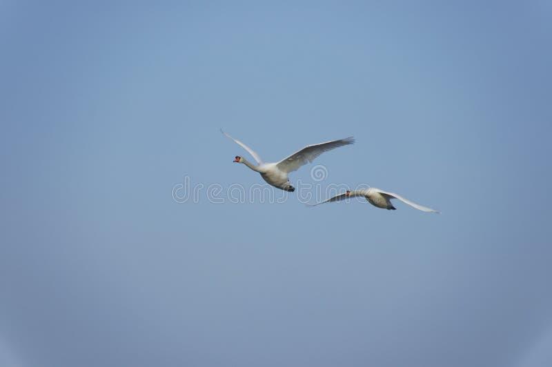 Cisnes do vôo fotos de stock