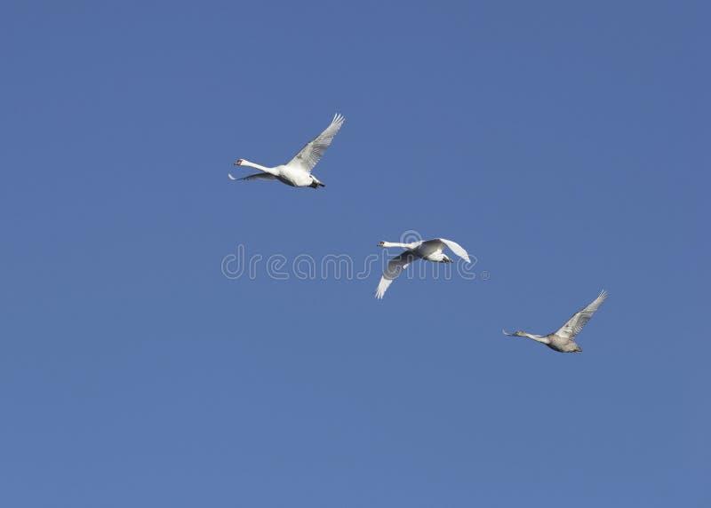Cisnes do vôo fotografia de stock