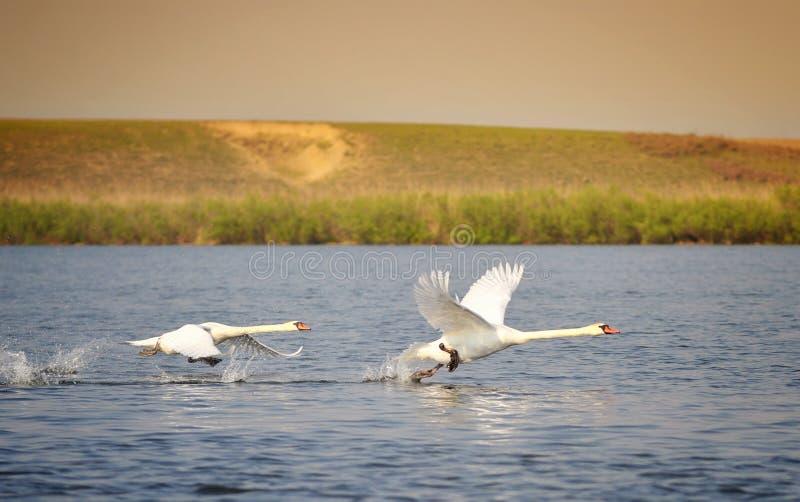 Cisnes do voo imagem de stock royalty free