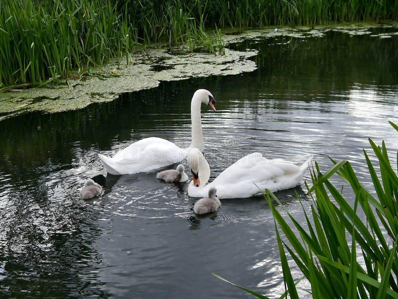 Cisnes e cisnes novos na água foto de stock