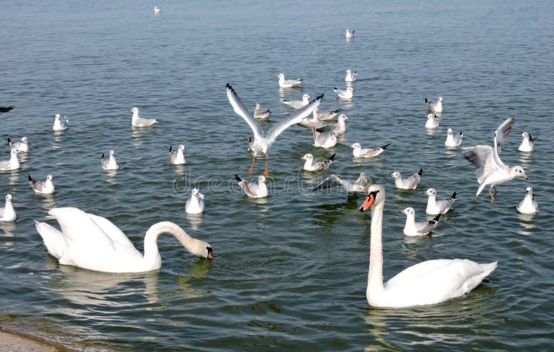 Cisnes e gaivotas fotografia de stock