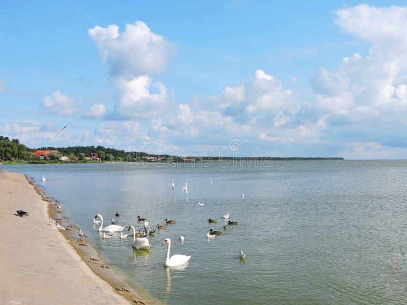 Cisnes e gaivotas na costa do cuspe de Curonian fotografia de stock royalty free